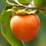Plaqueminier quel est ton fruit