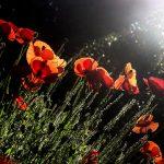 Les plantes messicoles