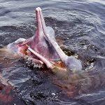 Je viens de voir un dauphin rose