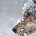 Nom d'un loup ou nom vernaculaire