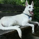 Pourquoi les chiens halètent-ils ?